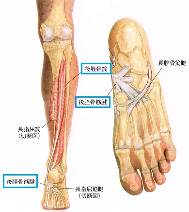 後脛骨筋1.png